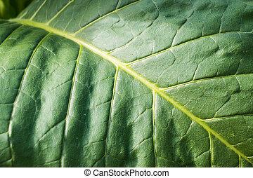 levél növényen, dohány
