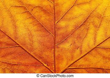 levél növényen, juharfa, ősz