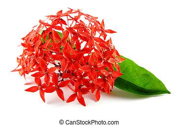 levél növényen, menstruáció, zöld piros