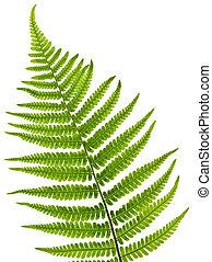 levél növényen, páfrány