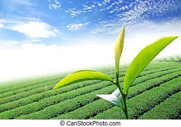 levél növényen, tea, zöld