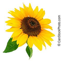 levél növényen, virág, zöld, napraforgó