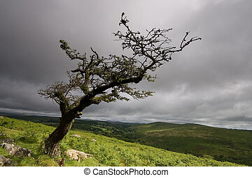 levarsi piedi solo, un, vecchio albero, su, dartmoor.
