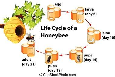leven, honeybee, cyclus