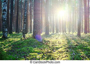 levers de soleil, forêt, pin