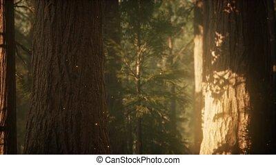 levers de soleil, pin, sauvage, forêt