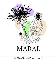 LEVZEIA. Medicinal plant linear pattern. maral root, moral. Violet wildflowers Folk medicine
