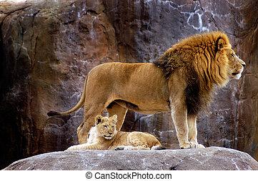 lew, afrykanin