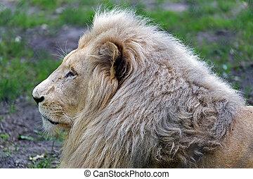 lew, cyganiąc na trawie