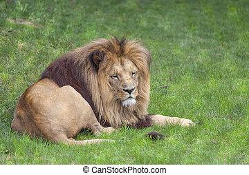 lew, (, wielki kot, male), leżący, na, przedimek określony przed rzeczownikami, grass.