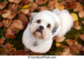 Lhasa apso - Adorable lhasa apso in the fall