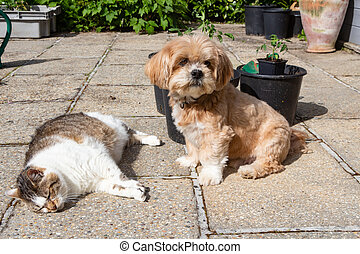 Lhasa Apso dog and cat in a garden