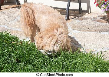 Lhasa Apso dog eating grass