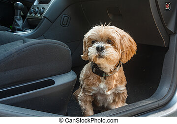 Lhasa Apso dog in a car