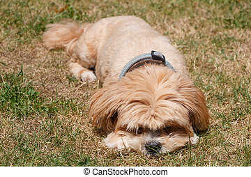 Lhasa Apso dog in a garden