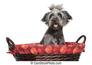 Lhasa Apso dog in wattled basket