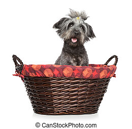Lhasa Apso dog in wattled basket