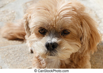 Lhasa Apso dog lying in a garden