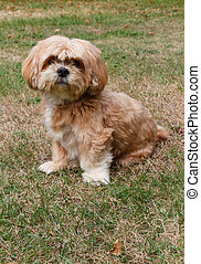 Lhasa Apso dog sitting in a garden