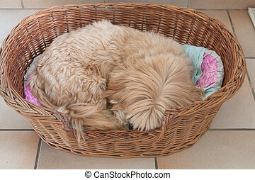 Lhasa Apso dog sleeping in a dog basket