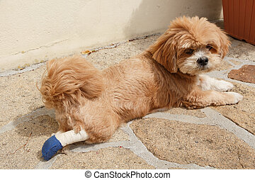 Lhasa Apso dog with bandage in a garden