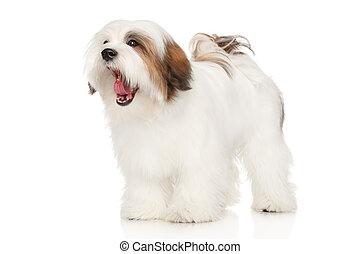 Lhasa Apso dog yawns