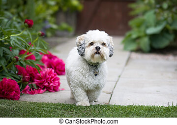 Lhasa apso in a garden setting