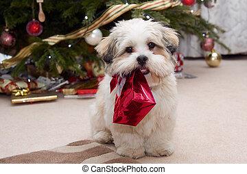 lhasa apso, junger hund, an, weihnachten