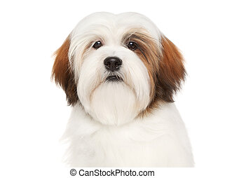 Lhasa Apso on a white background - Lhasa Apso dog. Close-up ...