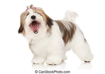 Portrait yawning Lhasa-Apso on white background