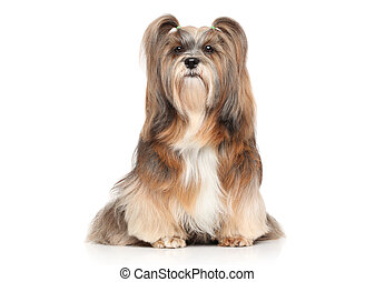 Lhasa Apso on a white background - Shaggy Lhasa Apso dog....