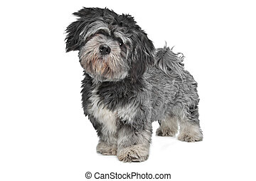 Lhasa Apso standing in front of a white background
