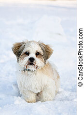 Lhasa apso puppy in the snow - Cute lhasa apso puppy in the...