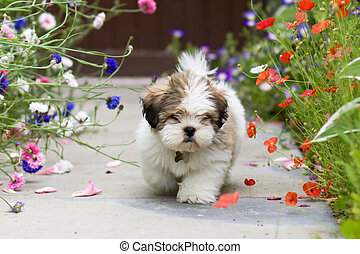 Lhasa apso puppy - Cute lhasa apso puppy amongst poppies and...