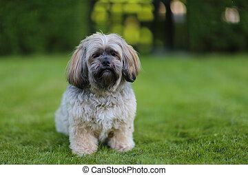 Lhasa Apso - Portrait of sitting lhasa apso dog facing the...