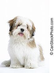 lhasa, baixo, cão, apso, sentando