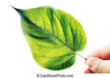 liść, ręka, tło., zielony, świeży, biały