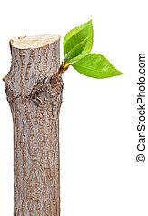 liść, sucha gałąź, zawiązki