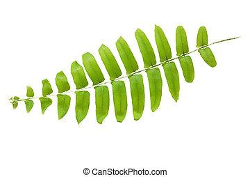 liść, zielony, odizolowany, tło, paproć