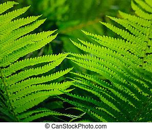 liście, świeży, zielony, paproć