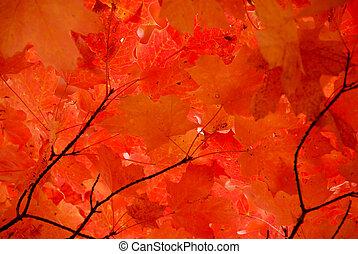liście, czerwony klon