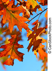 liście, dąb, upadek