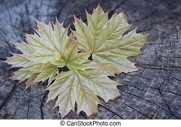 liście, drewno, klon, tło