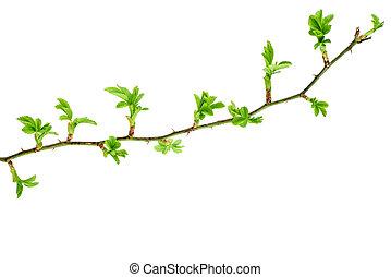 liście, gałąź, świeży, dziki podniosłem się