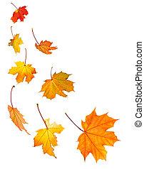 liście, klon, tło, upadek