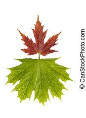 liście, klon