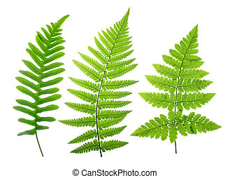 liście, komplet, zielony, paproć