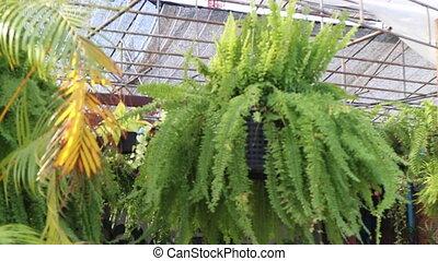 liście, paproć, wisząc, zielony, garnek