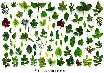 liście, próbka, odizolowany, biały, zielony, różny, tło.