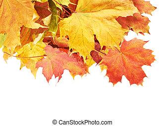 liście, stos, odizolowany, barwny, klon